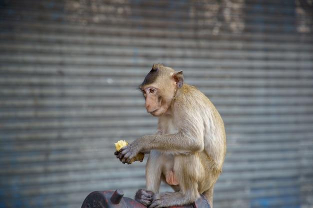 バナナを食べているタイのサルまたはカニクイザル、マカカfascicularisラッフル