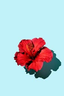 Модная минималистичная концепция плоской планировки цветка гибискуса на синем фоне. скопируйте пространство. фото высокого качества