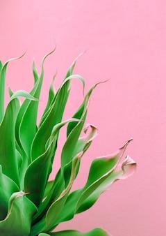 ピンクのデザインのファッション植物。アロエ。カナリア諸島工場