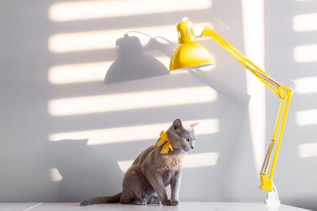 Fashion portrait of russian blue cat with decorative yellow bowtie over neck sitting on table with lamp.