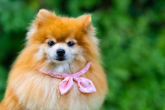 유행 창조적 인 여성 여성 포메라니안 스피츠 개 핑크 옷