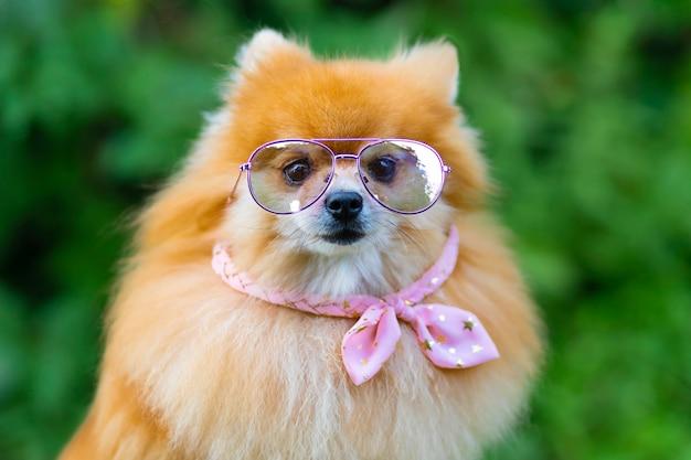 안경, 분홍색 옷, 머리띠를 한 세련된 여성 포메라니안 스피츠 개. 애완 동물 휴식