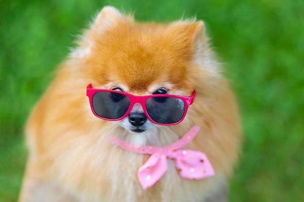 안경, 분홍색 옷, 머리띠를 한 세련된 여성 포메라니안 스피츠 개.