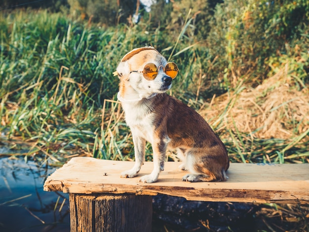 A fashionably dressed chihuahua doggie rests in nature, looks at the water and enjoys freedom