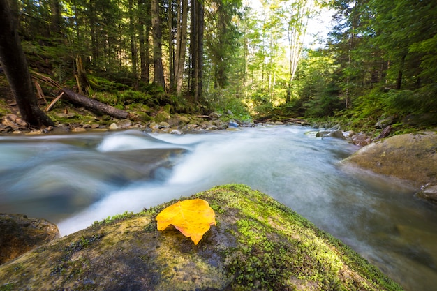 Fast flowing through wild green mountain forest river stream with crystal clear water and bright yellow leaf on big wet boulders. beautiful wildlife landscape.