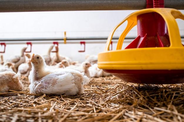 산업용 육류 생산을 위해 가금류 농장의 피더 옆에 누워 있는 빠르게 성장하는 닭.