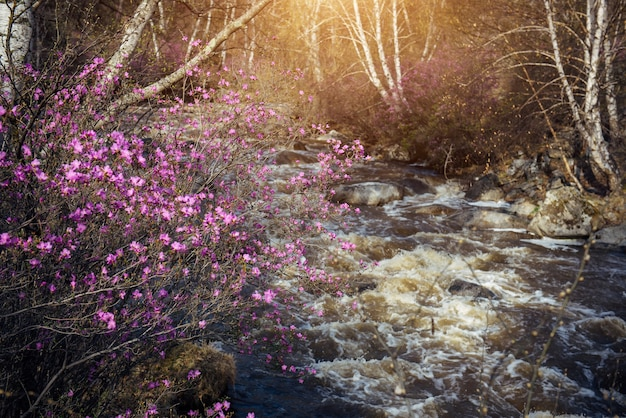 A fast mountain stream and flowering shrub on the bank. spring pink rhododendron flowers on the background of rushing water in a high-mountain river.