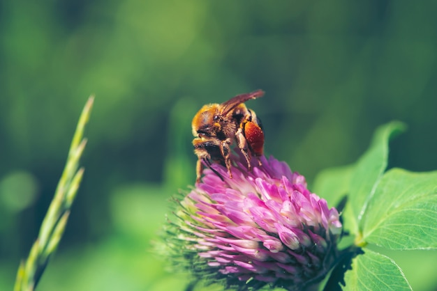 Fat bee find nectar in pink clover close up. insect on flower with copy space on green blurred nature