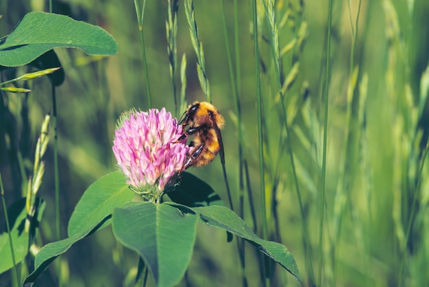 Fat bee find nectar in pink clover close up. insect on flower with copy space on green blurred