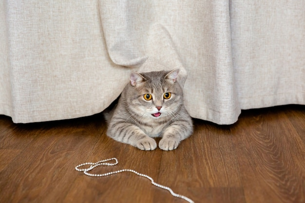 Fat british cat lies on floor under curtain and looks to side