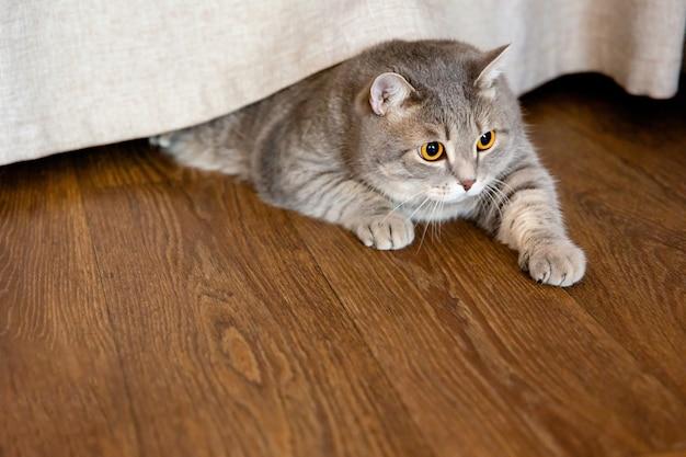 太ったブリティッシュ猫はカーテンの下の床に横たわり、横を向いています。