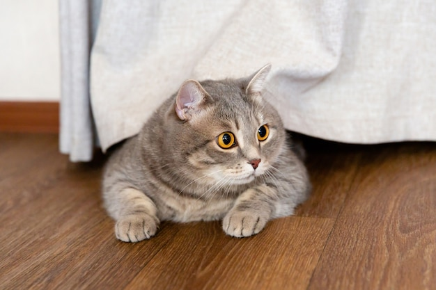 太ったブリティッシュ猫はカーテンの下の床に横たわり、横を向いています。 Premium写真