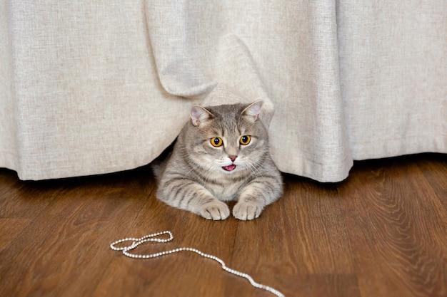 太ったイギリスの猫がカーテンの下の床に横になり、横を向いている