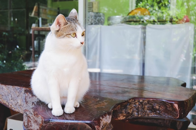 Fat cat sit down on table
