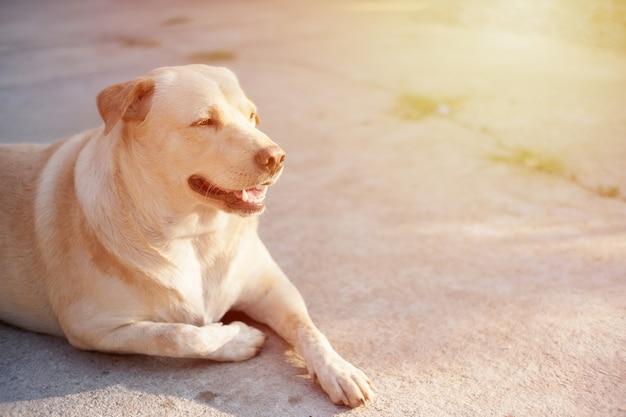 뚱뚱한 개는 행복하게 웃으며 바닥에 누워 있습니다. 태국 애완 동물.