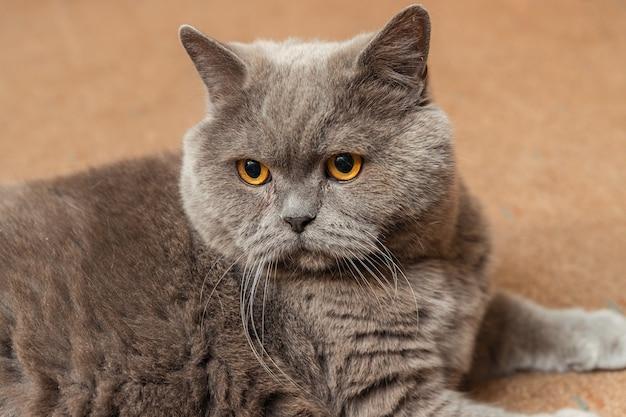 床に横たわっている太ったふわふわの英国猫
