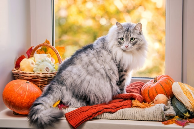 Fat fluffy gray cat sits on the window among pumpkins, a basket of apples, corn and other vegetables, turns in surprise from the window into the room.