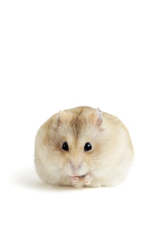 Fat fluffy hamster eating a seed, isolated