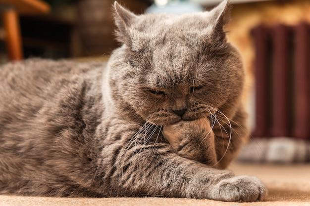 床に横たわってその足をなめる太った灰色の英国の猫。