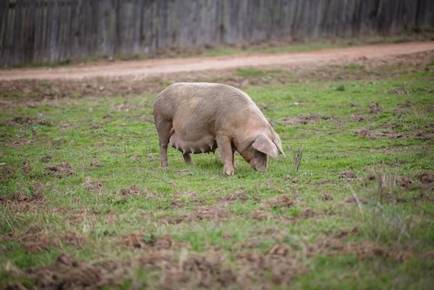 野外で授乳中の脂肪の多い豚がフェンスの後ろの農場で放牧