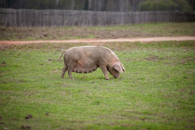 필드에서 먹이를 먹는 지방 수유 돼지 돼지는 울타리 뒤에 농장에서 방목