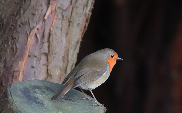 Fat little european robin bird standing on a tree stump in the woods with a blurred background