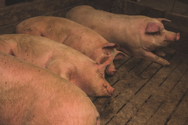 Fat pigs lying on farm