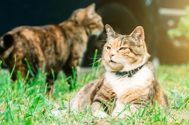 Толстый котик лежит на траве луговой, на заднем плане еще один котик.