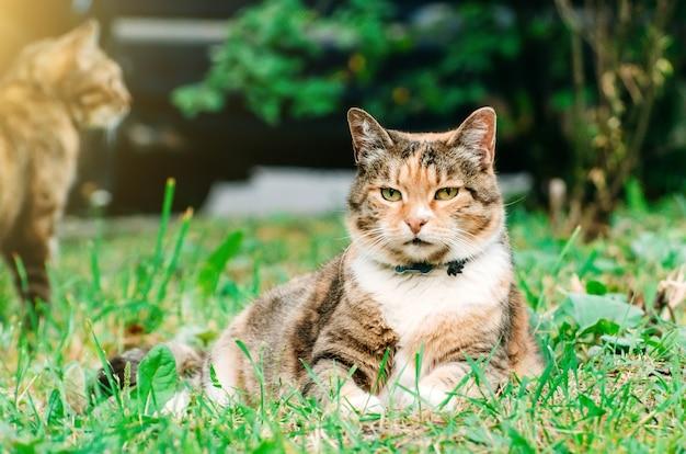 Толстая киска кота лежит на лугу травы