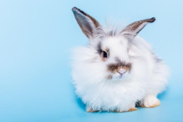 太いウサギの白い毛皮と長い耳がキラキラと輝くブルーのソフト