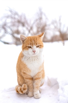 Fat red cat sits in the snow