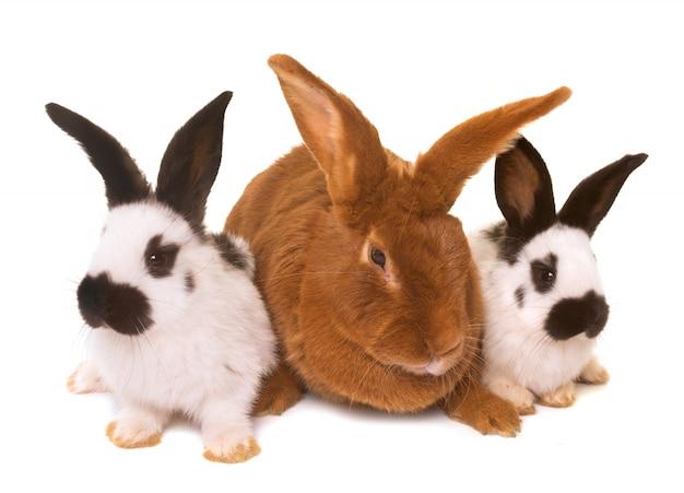 Fauve de bourgogne and checkered giant rabbit