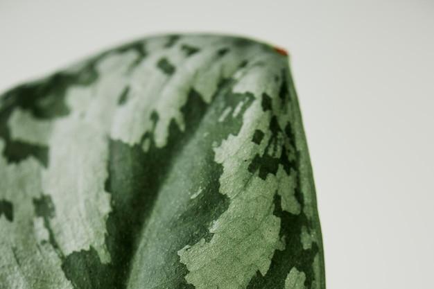 のどのスイカペペロミア背景観葉植物