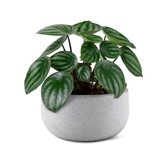 회색 냄비에 가짜 수박 페페로미아 식물