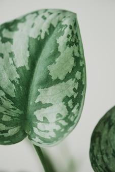 ライトグレーの背景に偽のスイカペペロミア植物