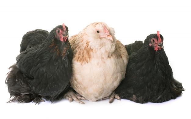 Faverolle and pekin chicken