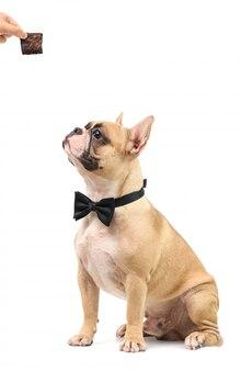 Собака палевого бульдога, получающая пирог как удовольствие для хорошего поведения, изолирована