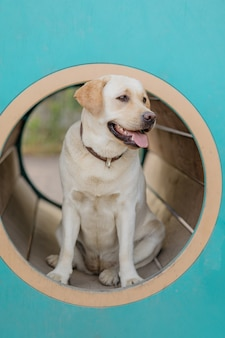 The fawn labrador retriever is engaged on the training ground the pet labrador retriever is
