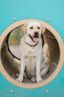 The fawn labrador retriever is engaged on the training ground the pet labrador retriever