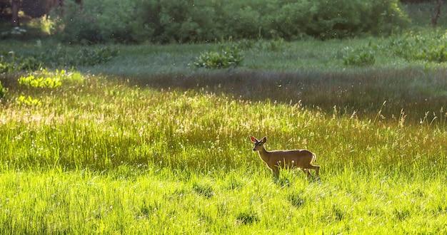 牧草地の子鹿。