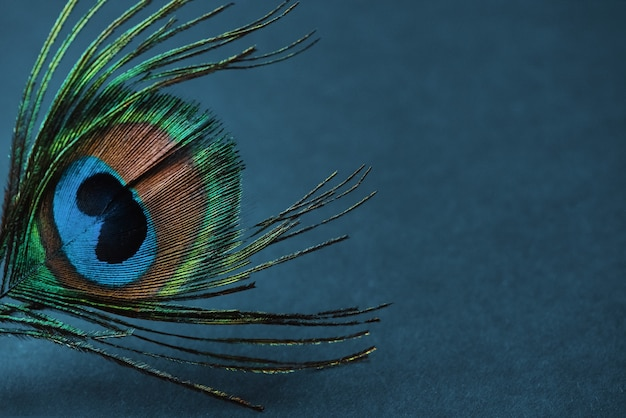 Feather of peacock on the blue background
