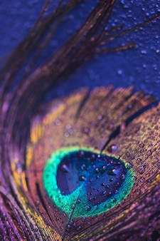 Feather of peacock with droplets