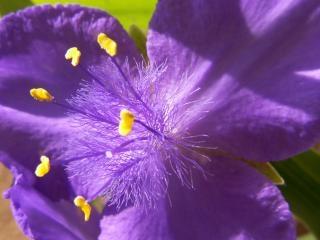 Feathery blue flower
