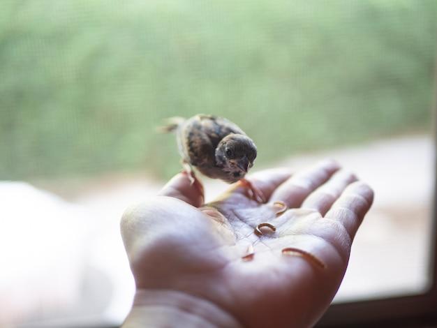 スズメ鳥に餌をやる