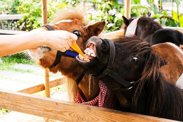 농장에서 손으로 말을 먹이