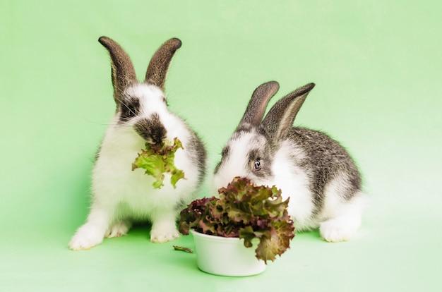 ペットの飼育と飼育。小さな赤ちゃんウサギは、新鮮な緑の草、レタス、葉を食べます。動物のためのバランスの取れた栄養