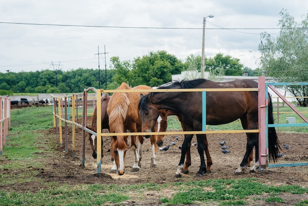 牧場で美しく健康な馬に餌をやる。畜産と馬の繁殖。