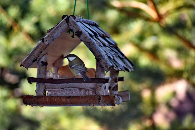 Feeding birds in the fresh air. tit eating white bread.