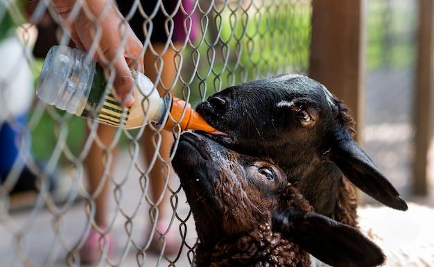 牛乳瓶で黒山羊に餌をやる
