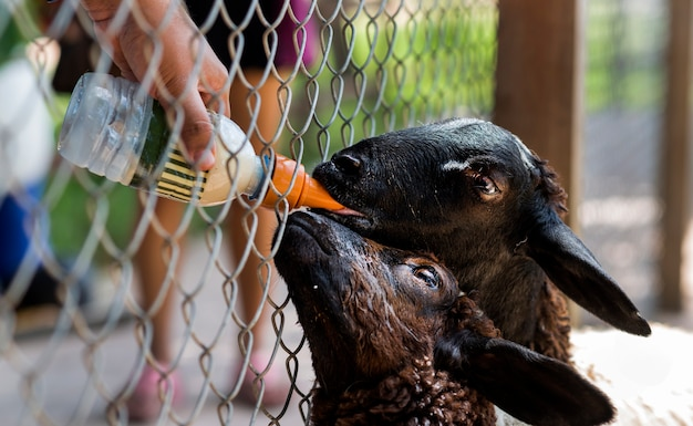 Feeding black goats with a bottle of milk